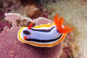 Nudibranch Chromodoris, South Entalula, Philippines