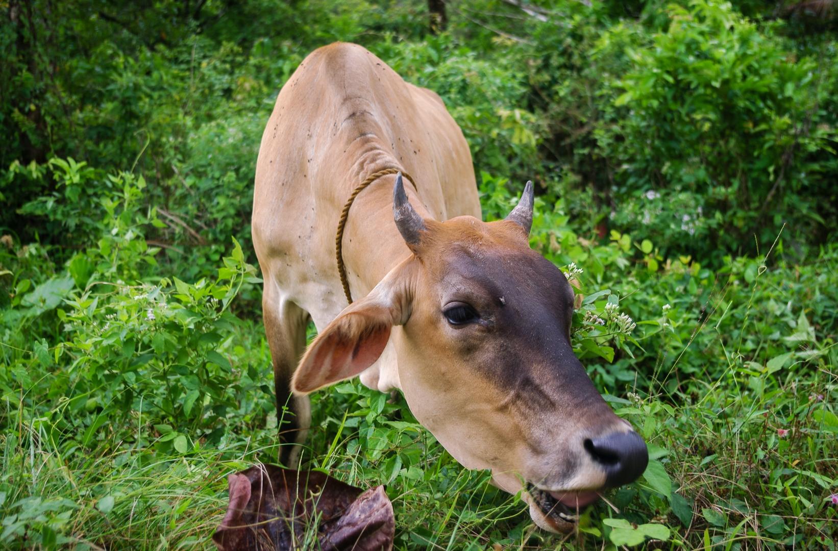 Корова, Филиппины