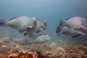 Шишколобые попугаи Humphead Parrotfish (Bolbometopon muricatum), South Entalula, Эль-Нидо