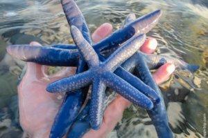 Starfish linckia laevigata, Bohol Island