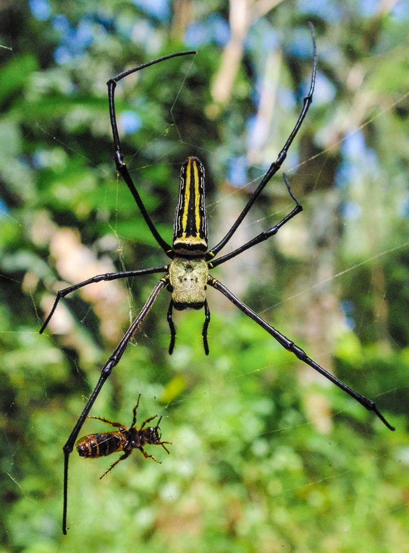 Nephila Pilipes, Philippines