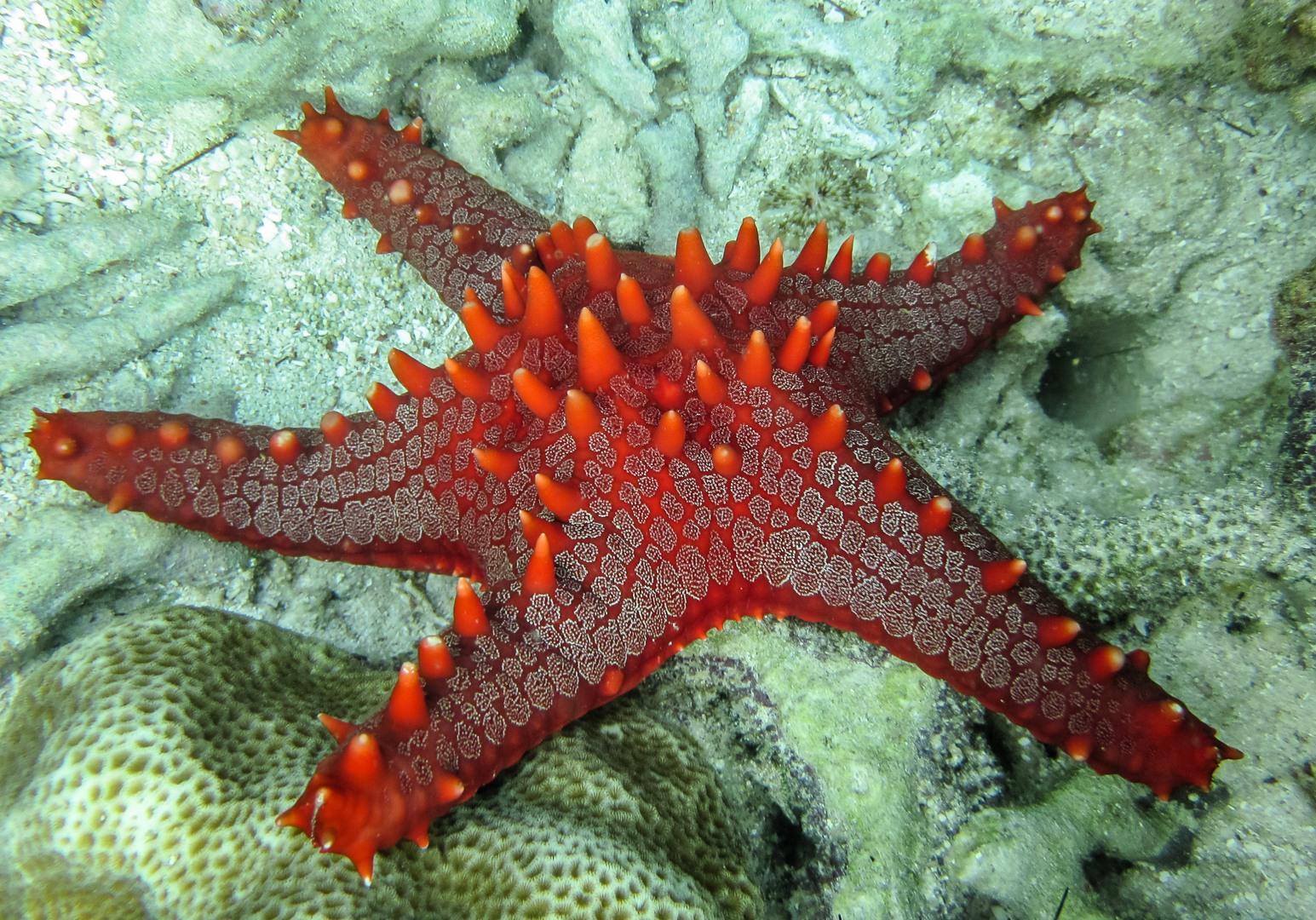 Морская звезда Red-knobbed starfish (Protoreaster Linckii), Alona Beach, о. Панглао