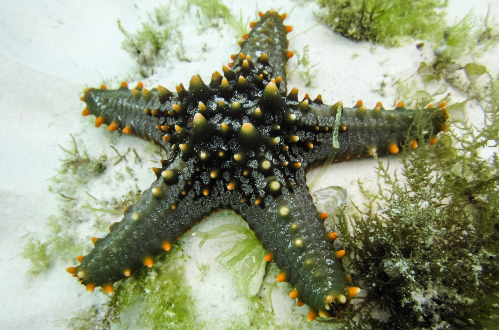 Морская звезда Horned Sea Star (Protoreaster Nodosus), Alona Beach, о. Панглао