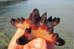Horned Sea Star, Alona Beach, Panglao Island