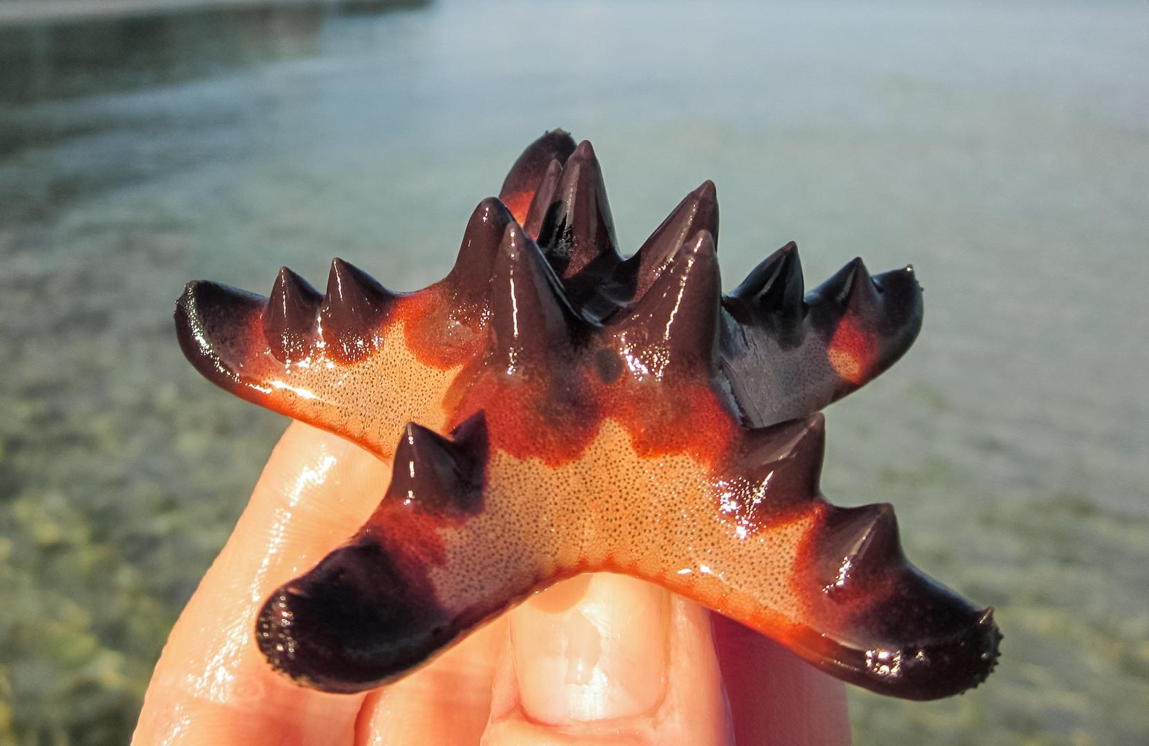 Horned Sea Star, Alona Beach, Panglao Island