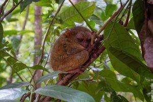 Philippine tarsier, Bohol Island
