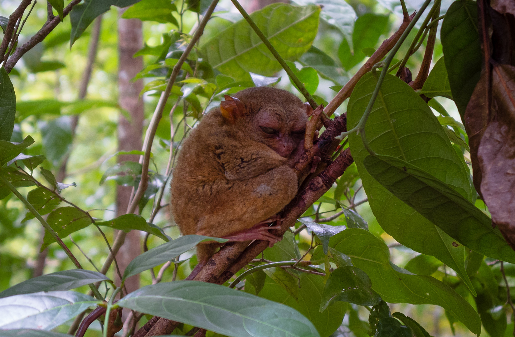 Долгопят Philippine tarsier (Carlito syrichta)о. Бохол