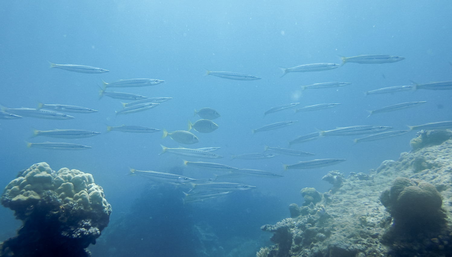 Барракуда желтохвостая Yellowtail Barracuda (Sphyraena flavicaud), South Entalula, Эль-Нидо
