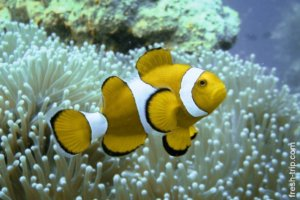 Clownfish and Anemonefish, Twin Peaks reef, Philippines