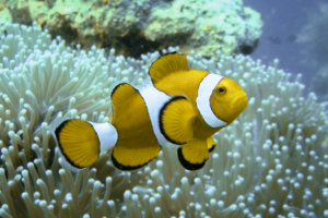 Рыбы-клоуны, или амфиприоны Clownfish, Anemonefish (Amphiprion), Риф Twin Peaks