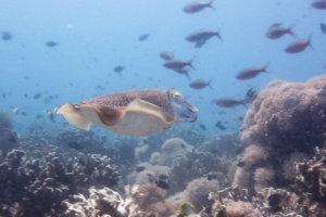 Каракатица Cuttlefish (Sepiida), о.Сумилон