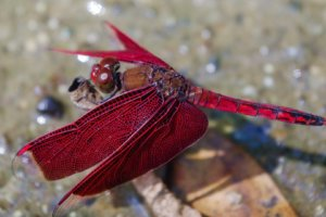 Dragon fly, Philippines