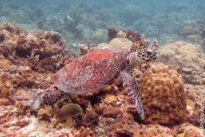 Green sea turtle, Philippines
