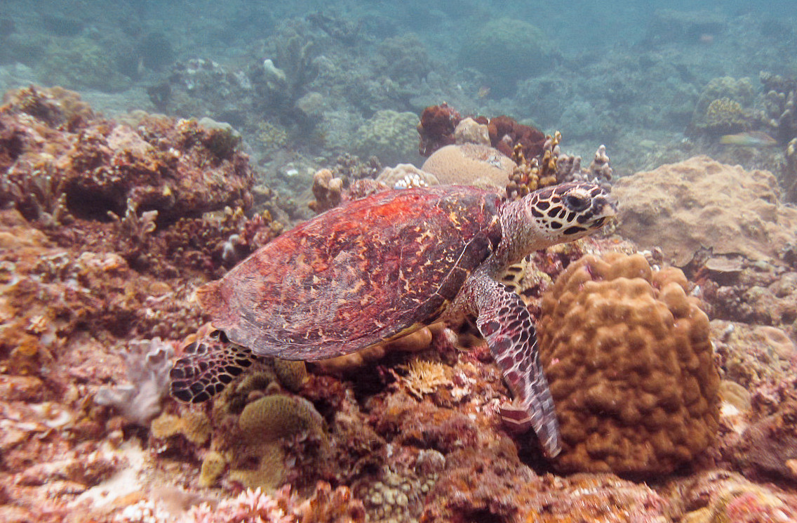 Зелёная черепаха Green sea turtle (Chelonia mydas), Эль Нидо