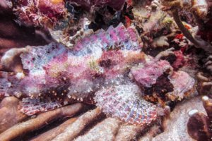 Stonefish, Sumilon Island, Philippines