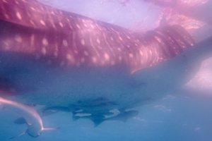 Whale shark, Sumilon Island, Philippines