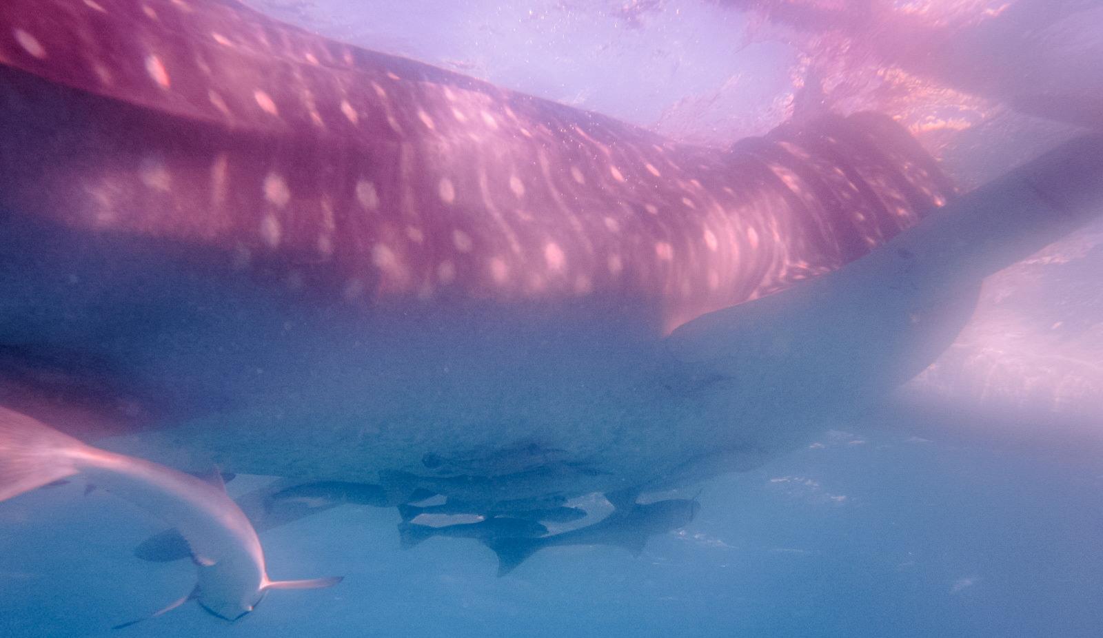Китовая акула Whale shark (Rhincodon typus), о.Сумилон