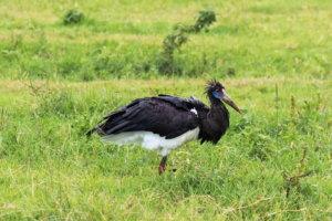 Белобрюхий аист Abdim's Stork (Ciconia abdimii), Нгоронгоро