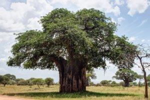 Баобаб, или Адансония пальчатая Baobab (Adansonia digitata), Тарангире