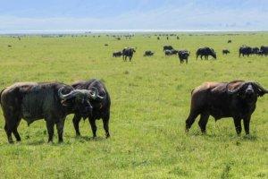 Африканский , или чёрный буйвол African buffalo (Syncerus caffer), Нгоронгоро