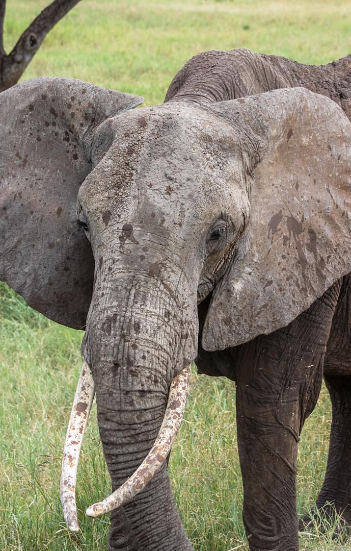 Саванный слон African bush elephant (Loxodonta africana), Тарангире