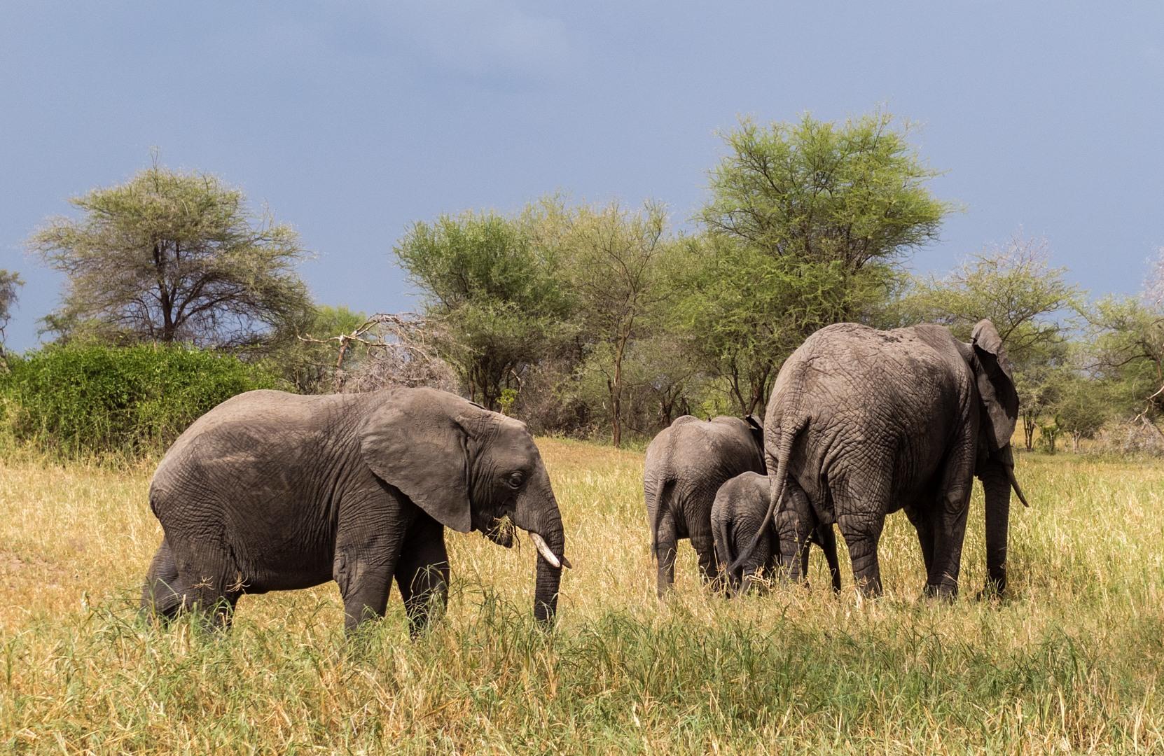 Саванные слоны African bush elephant (Loxodonta africana), Тарангире