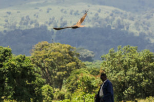 Чёрный коршун Black Kite (Milvus migrans), Нгоронгоро