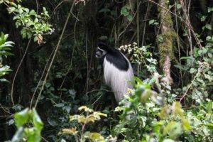 Колобус Black-and-white colobuses (Colobus), Килиманжаро