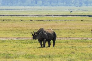 Чёрный носорог Black rhinoceros (Diceros bicornis), Нгоронгоро