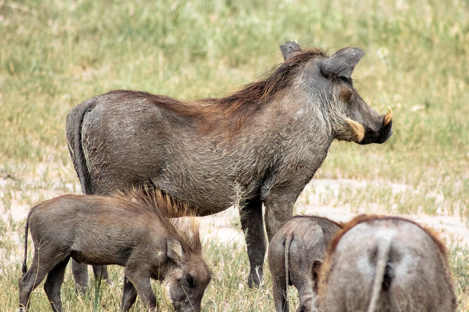 Африканский бородавочник Warthog (Phacochoerus africanus), Тарангире