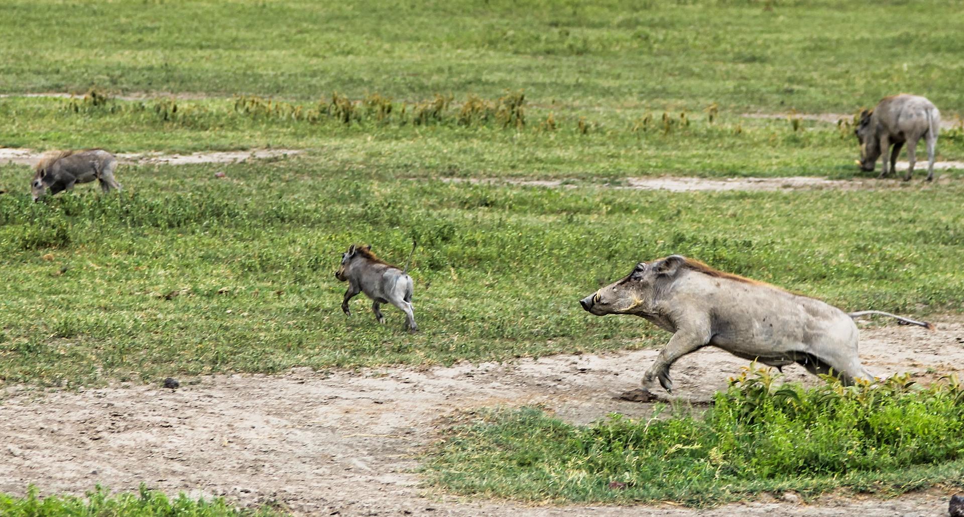 Африканский бородавочник Warthog (Phacochoerus africanus), Нгоронгоро