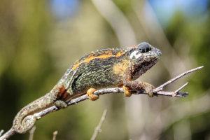 Ковровый хамелеон Flap-necked Chameleon (Chamaeleo dilepis), Килиманжаро