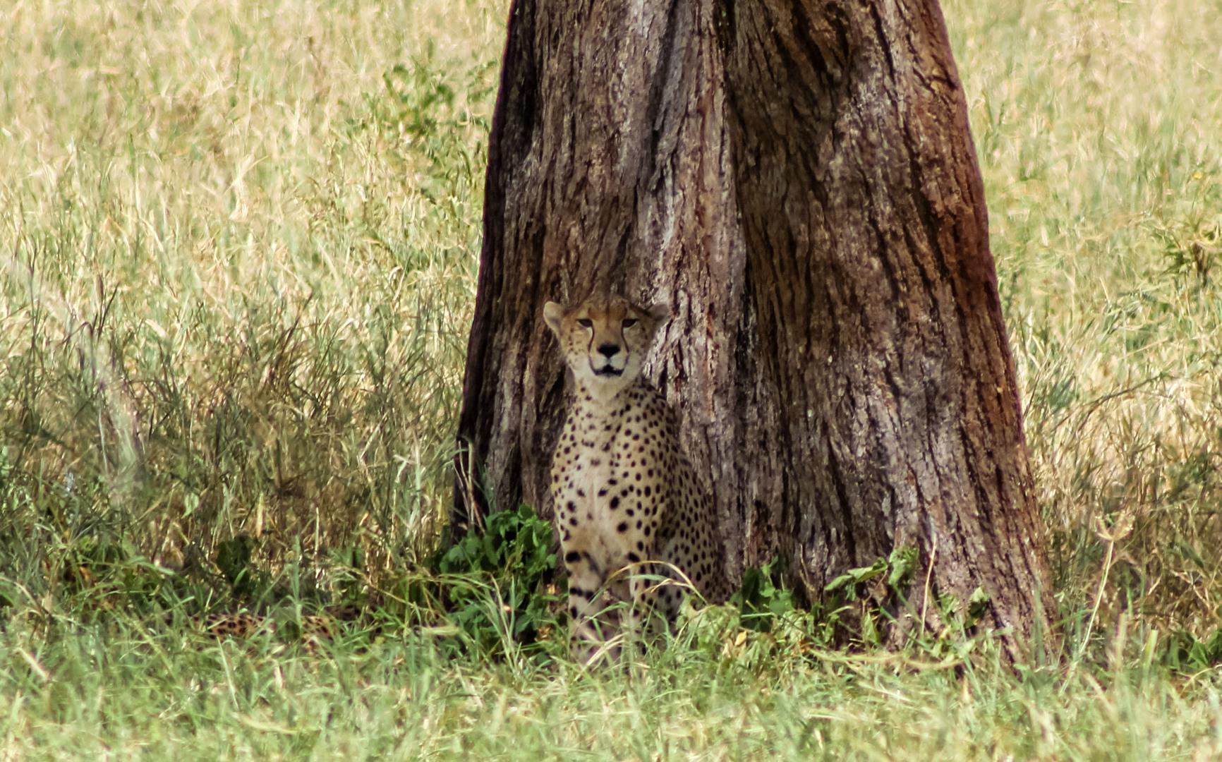 Гепард Cheetah (Acinonyx jubatus fearsoni), Тарангире