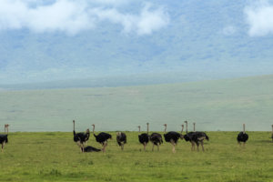 Африканские страусы Ostrich (Struthio camelus), Нгоронгоро