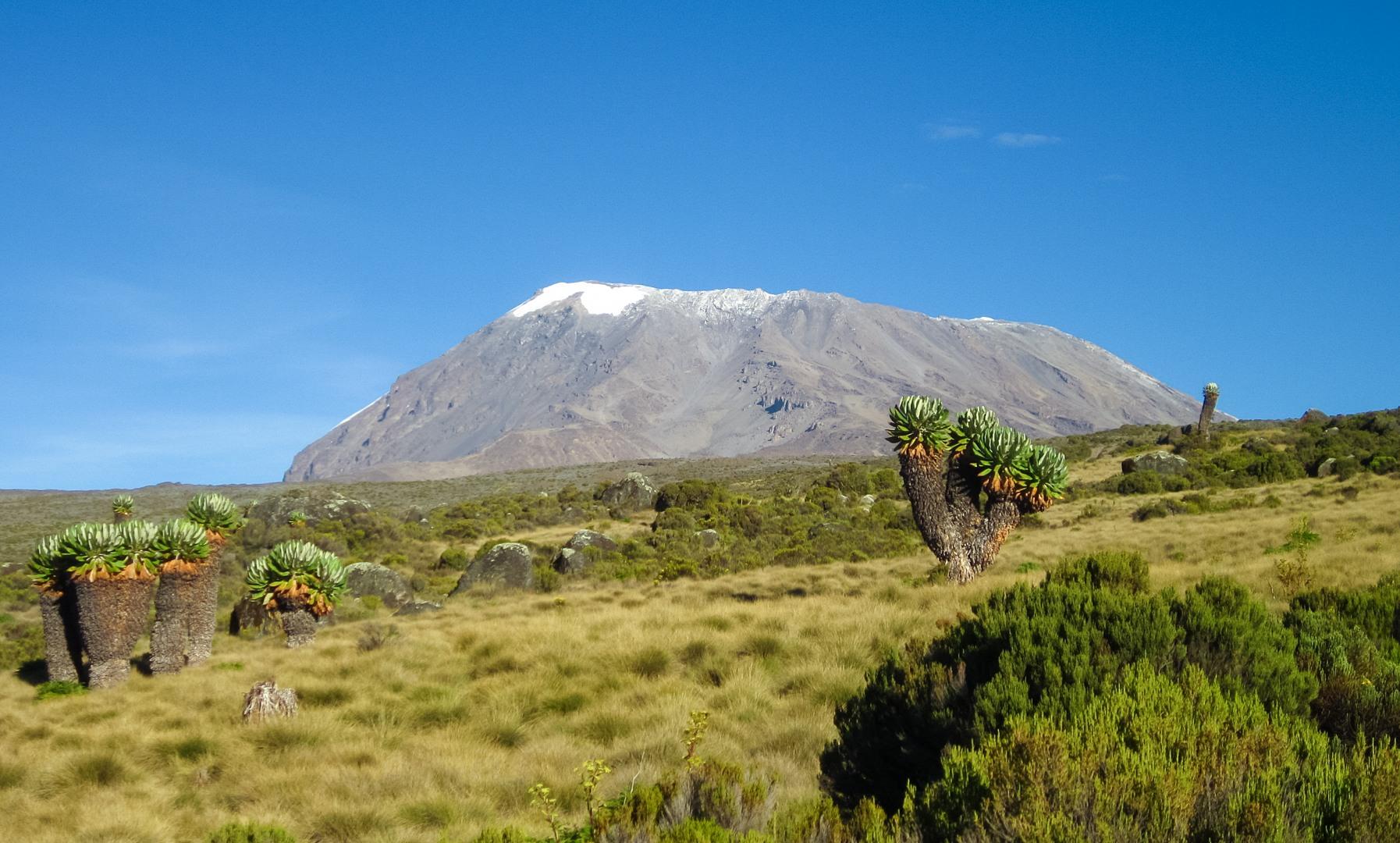 Гигантский крестовник и кратер Кибо, Килиманжаро