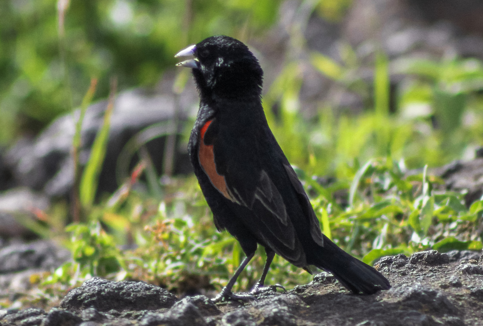 Красноплечий ткачик Fan-tailed Widowbird (Euplectes axillaris), Нгоронгоро