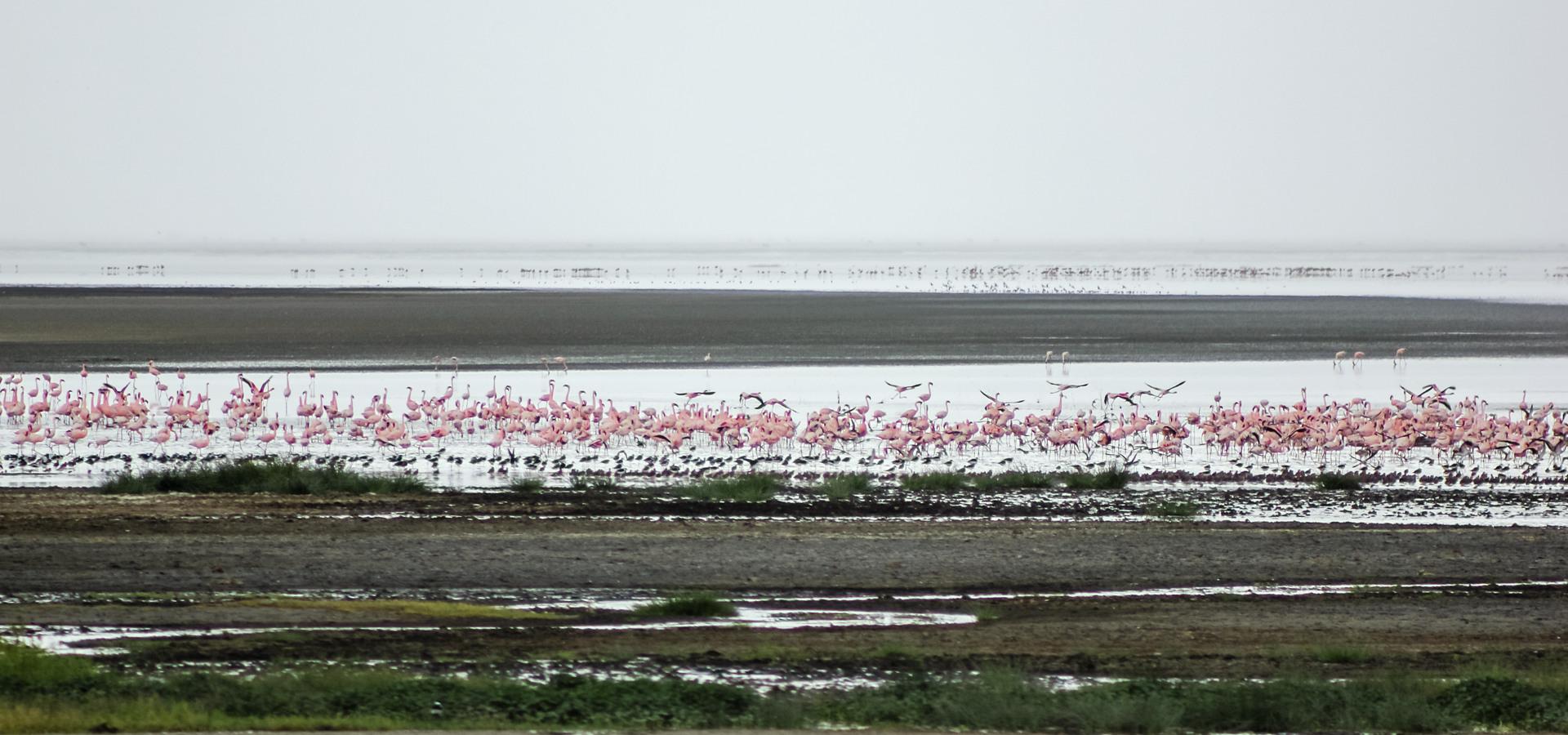 Обыкновенный, или роозовый фламиинго Greater Flamingo (Phoenicopterus roseus), Нгоронгоро