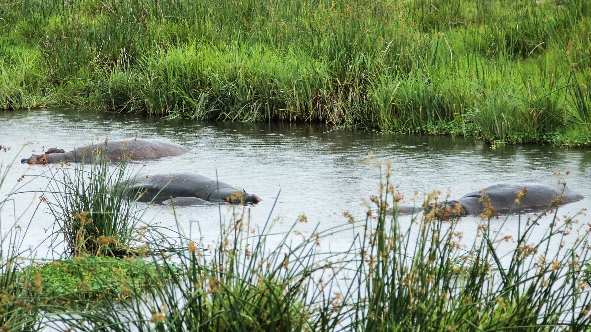 Обыкновенные бегемоты, Hippopotamus (Hippopotamus amphibius), Нгоронгоро
