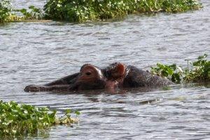 Обыкновенный бегемот Hippopotamus (Hippopotamus amphibius), Нгоронгоро