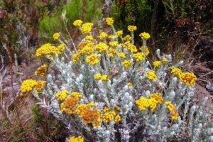 Бессмертник (Helichrysum odoratissimum), Килиманжаро