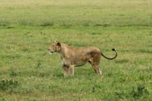 Львица Masai lion female (Panthera leo nubica), Нгоронгоро