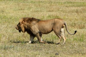 Лев Masai lion (Panthera leo nubica), Нгоронгоро