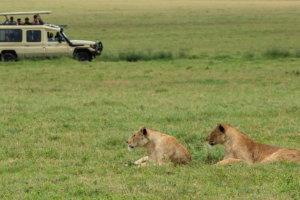 Львицы Masai lions female (Panthera leo nubica), Нгоронгоро