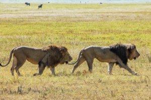 Львы Masai lions (Panthera leo nubica), Нгоронгоро