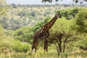 Жираф Masai giraffe (Giraffa camelopardalis tippelskirchi), Тарангире