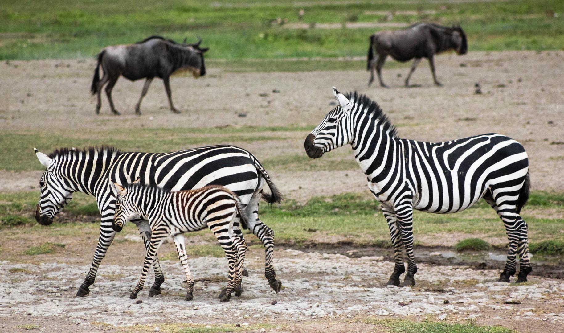 Бурчеллова, или саванная зебра Plains zebra (Equus quagga), Нгоронгоро