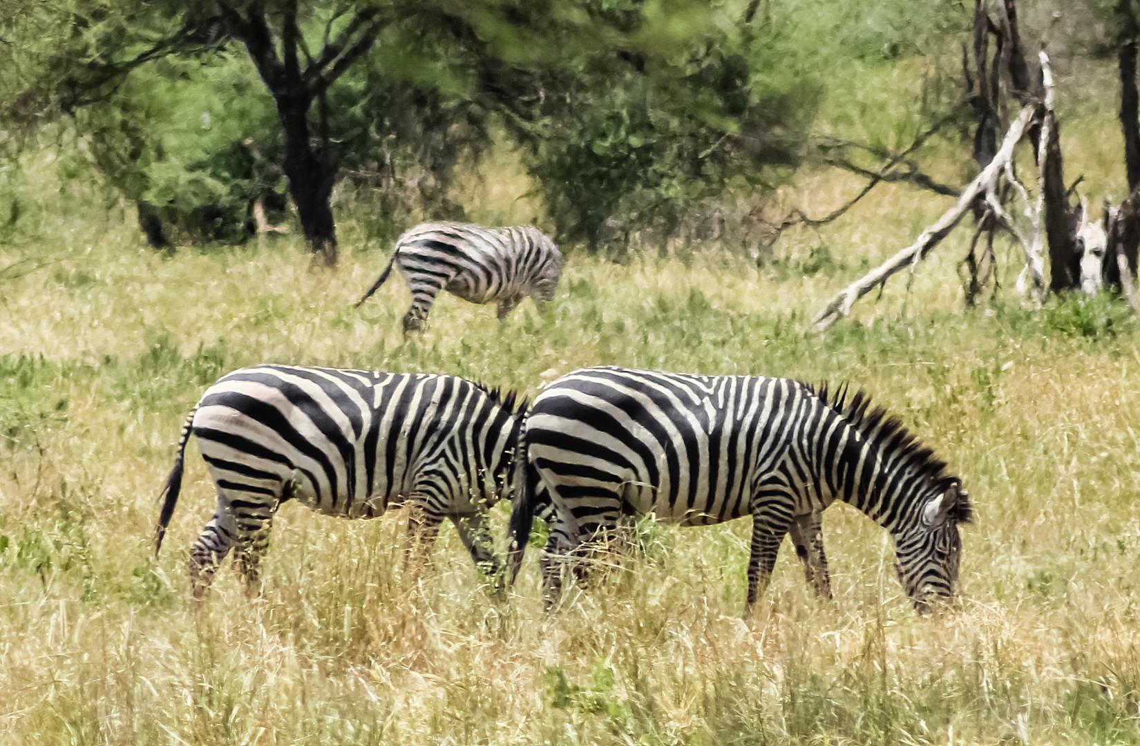 Бурчеллова, или саванная зебра Plains zebra (Equus quagga), Тарангире