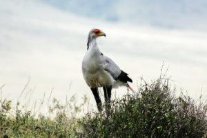 Птица-секретарь Secretarybird (Sagittarius serpentarius), Нгоронгоро