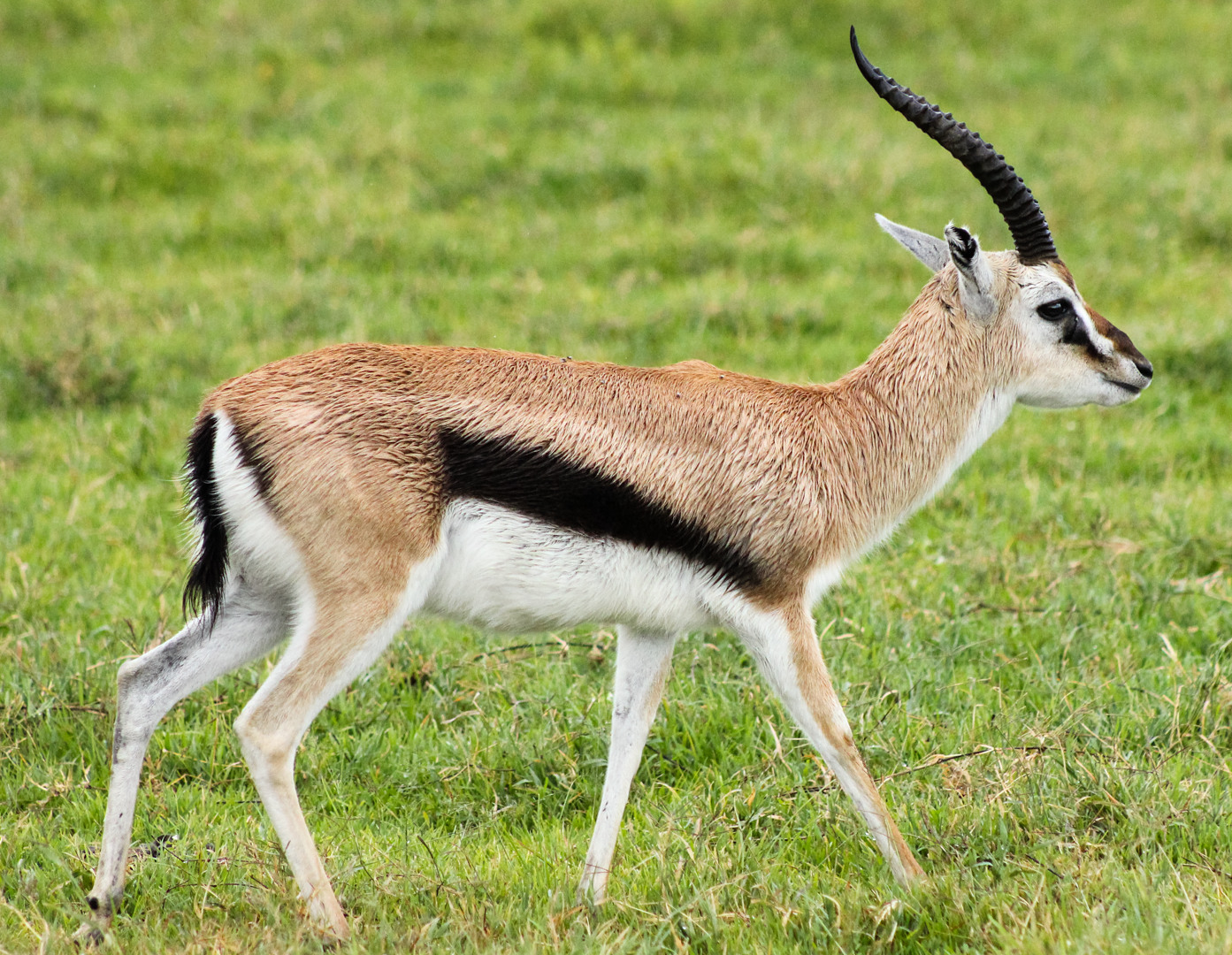 Газель Томсона Thomson's gazelle (Gazella thomsoni), Нгоронгоро