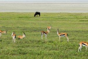 Газели Томсона Thomson's gazelles (Gazella thomsoni), Нгоронгоро